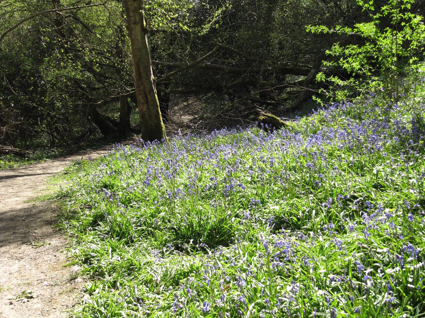Bluebells on Riverside Walk at Grebe Crescent